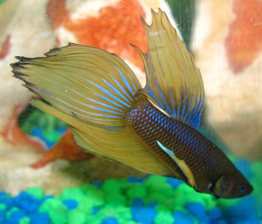 bolt_the_betta_fish_by_murphy1210-d3cwzo3