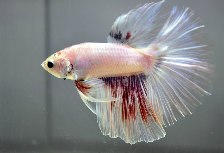 multicolor_betta_by_wickedlygreen-d495hm0