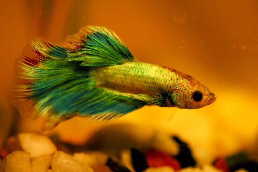 my_very_own_betta_fish_by_shadow_and_flame_86-d3fcpgy