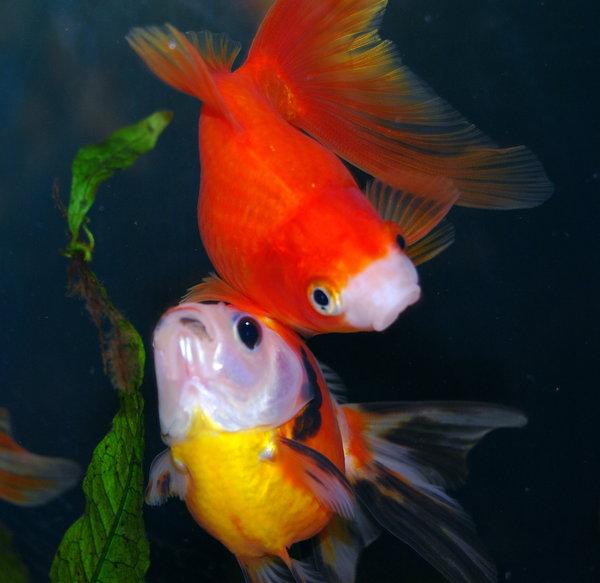 bumping_goldfish_by_shadoj