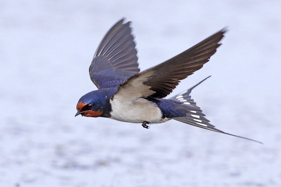 barn_swallow_by_jamie_macarthur-d4w0ay8