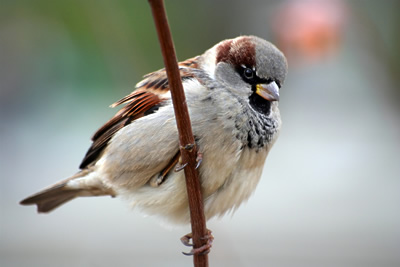 house-sparrow-male